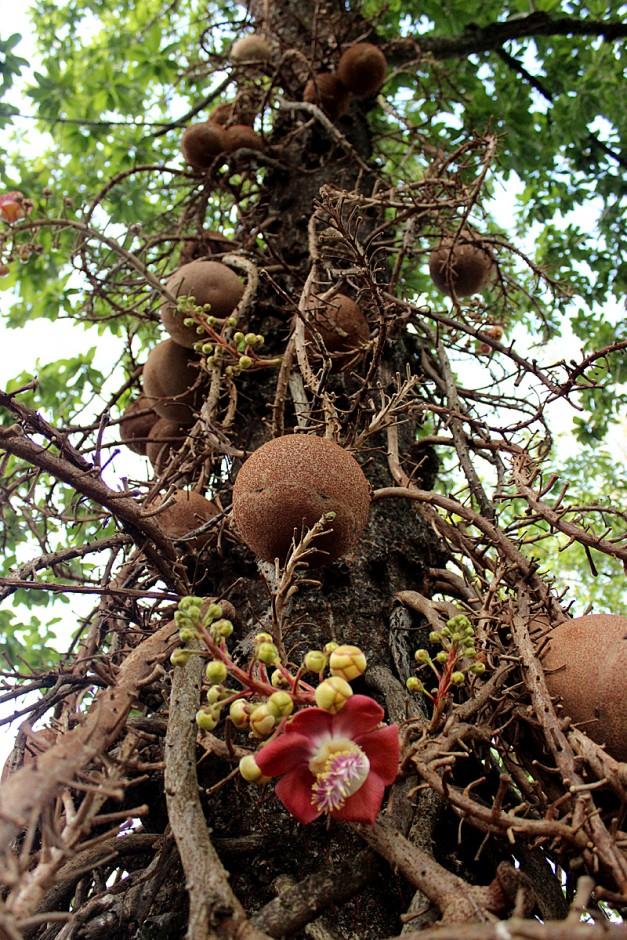 Drevo brazilskega oreha