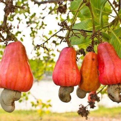 Cashew-apple-on-tree